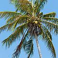 Windblown Coconut Palm by John M Bailey