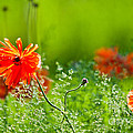 Windblown Poppies by Cheryl Baxter