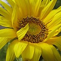 Windblown Sunflower Three by Barbara McDevitt