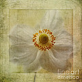 Windflower Textures by John Edwards