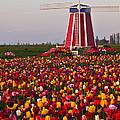 Windmill Of Flowers by Athena Mckinzie