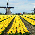 Windmills And Tulips by David Gardner