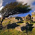 Windswept Hawthorn Tree by Darren Galpin