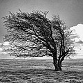 Windswept Tree On Knapp Hill by Paul Gulliver