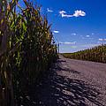 Windy Corn by Michael Thacker