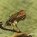 Windy Morn Green Heron by Robert Frederick