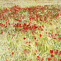 Windy Poppies At The Fields by Guido Montanes Castillo