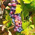 Wine Grapes II by Shari Warren