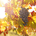 Wine Grapes In The Sun by Diane Diederich