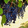 Wine Grapes by Kristina Deane