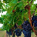 Wine Grapes On The Vine by Kristina Deane