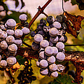 Wine Grapes On The Vine by Zina Stromberg