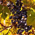 Wine Grapes by Zina Stromberg
