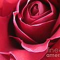 Wine Rose 6 by Tara  Shalton
