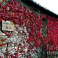 Winery Ivy by Timothy Hacker
