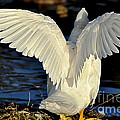 Wings Of A White Duck by Kaye Menner