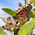 Wings Up Monarch Butterfly By Diana Sainz by Diana Raquel Sainz