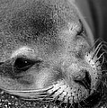 Winking Sea Lion by Chris Scroggins