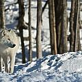Winter Arctic Wolf by Wolves Only