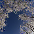 Winter Aspen Canopy Yellowstone by Konrad Wothe
