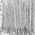 Winter Aspen by Gerry Bates