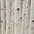 Winter Aspen Tree Forest Portrait by James BO Insogna