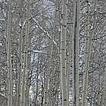 Winter Aspens by Dorothea Hanson