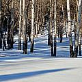 Winter Aspens by Jack Bell