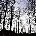 Winter Aspens by Shar Schermer