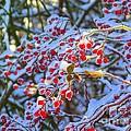 Winter Berries by Elizabeth Dow