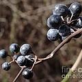 Winter Berries by John Velasquez