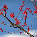 Winter Berries by Lili Feinstein