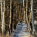 Winter Birches by Lutz Baar