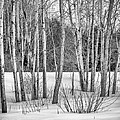 Winter Birches by Pat Lucas