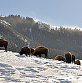 Winter Bison Herd In Yellowstone by Bruce Gourley