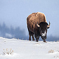 Winter Bison by Jack Bell