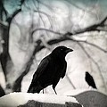 Winter Blackbirds by Gothicrow Images