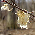 Winter Bleached Leaves by Peggy King
