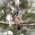 Winter Blue Jay by Kerri Farley