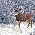 Winter Buck by Darren  White
