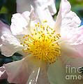 Winter Camellia by Carol Groenen