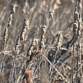 Winter Cattail Abstract by Maria Urso