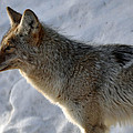 Winter Coyote In Yellowstone by Bruce Gourley