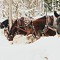 Horses Eating In Snow by Pati Photography