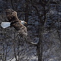 Winter Eagle Flight by Coby Cooper
