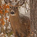 Winter Fawn by Brenda Jacobs