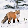 Winter Fox by Dean Wittle