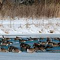 Winter Geese - 02 by Larry Jost