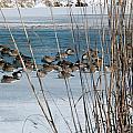 Winter Geese - 04 by Larry Jost