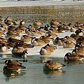 Winter Geese - 07 by Larry Jost